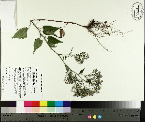 ( - TJD-438)  @11 [ ] by-nc (2014) MTMG McGill University Herbarium