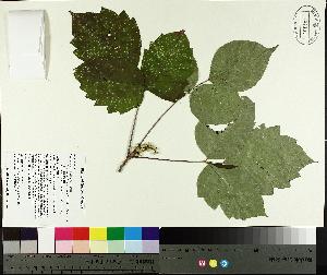 (Toxicodendron radicans - TJD-460)  @11 [ ] by-nc (2014) MTMG McGill University Herbarium