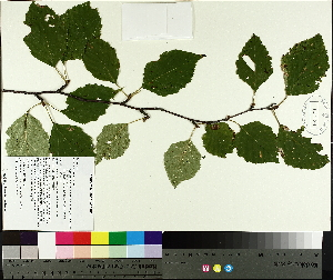 (Betula papyrifera - TJD-461)  @11 [ ] CreativeCommons - Attribution Non-Commercial (2014) MTMG McGill University Herbarium