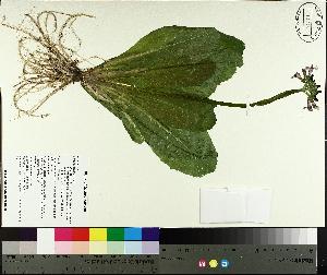 (Primula - TJD-556)  @11 [ ] by-nc (2014) MTMG McGill University Herbarium