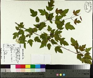 (Acer tataricum subsp. ginnala - TJD-557)  @11 [ ] CreativeCommons - Attribution Non-Commercial (2014) MTMG McGill University Herbarium