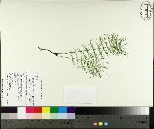 (Equisetum pratense - TJD-560)  @11 [ ] CreativeCommons - Attribution Non-Commercial (2014) MTMG McGill University Herbarium