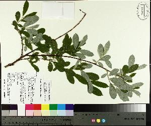 ( - TJD-573)  @11 [ ] CreativeCommons - Attribution Non-Commercial (2014) MTMG McGill University Herbarium