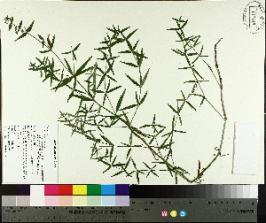 ( - TJD-597)  @11 [ ] by-nc (2014) MTMG McGill University Herbarium
