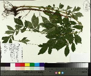 (Agrimonia striata - TJD-608)  @11 [ ] by-nc (2014) MTMG McGill University Herbarium