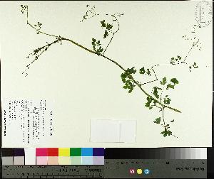 (Adlumia - TJD-629)  @11 [ ] CreativeCommons - Attribution Non-Commercial (2014) MTMG McGill University Herbarium