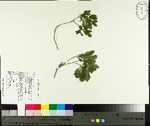 ( - TJD-670)  @11 [ ] by-nc (2014) MTMG McGill University Herbarium