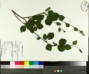 (Betula minor - TJD-677)  @11 [ ] by-nc (2014) MTMG McGill University Herbarium