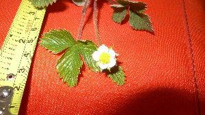 (Fragaria vesca - TJD-001)  @11 [ ] CreativeCommons - Attribution Non-Commercial (2013) MTMG McGill Herbarium