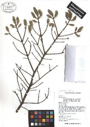 (Picea rubens - TJD-468)  @11 [ ] CreativeCommons - Attribution Non-Commercial (2013) MTMG McGill Herbarium