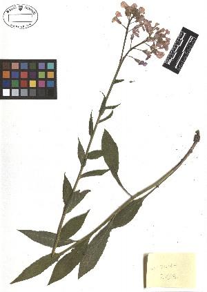 (Hesperis - TJD-171)  @11 [ ] CreativeCommons - Attribution Non-Commercial (2013) MTMG McGill Herbarium