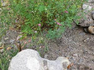 (Lathyrus sylvestris - TJD-249)  @11 [ ] CreativeCommons - Attribution Non-Commercial (2013) MTMG McGill Herbarium
