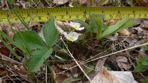 (Fragaria vesca ssp americana - TJD-003)  @11 [ ] CreativeCommons - Attribution Non-Commercial (2013) MTMG McGill Herbarium