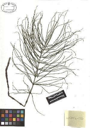 ( - TJD-504)  @11 [ ] CreativeCommons - Attribution Non-Commercial (2013) MTMG McGill Herbarium