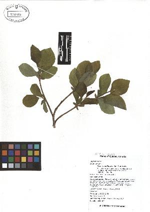(Dirca - TJD-028)  @11 [ ] CreativeCommons - Attribution Non-Commercial (2013) MTMG McGill Herbarium