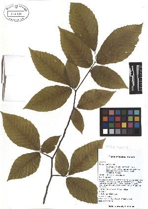 (Fagus grandifolia - TJD-029)  @11 [ ] CreativeCommons - Attribution Non-Commercial (2013) MTMG McGill Herbarium