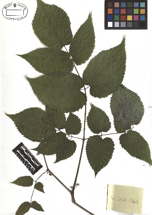 ( - TJD-308)  @11 [ ] CreativeCommons - Attribution Non-Commercial (2013) MTMG McGill Herbarium