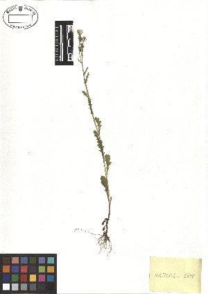 (Senecio vulgaris - TJD-514)  @11 [ ] CreativeCommons - Attribution Non-Commercial (2013) MTMG McGill Herbarium
