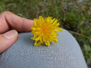 (Scorzoneroides - TJD-363)  @11 [ ] CreativeCommons - Attribution Non-Commercial (2013) MTMG McGill Herbarium