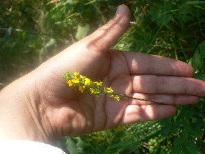 (Agrimonia gryposepala - TJD-384)  @11 [ ] CreativeCommons - Attribution Non-Commercial (2013) MTMG McGill Herbarium