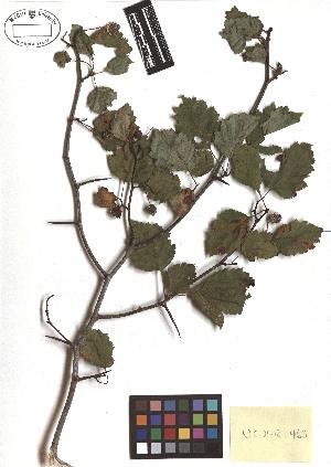 (Crataegus macrosperma - TJD-386)  @11 [ ] CreativeCommons - Attribution Non-Commercial (2013) MTMG McGill Herbarium