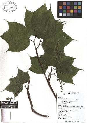 ( - TJD-041)  @11 [ ] CreativeCommons - Attribution Non-Commercial (2013) MTMG McGill Herbarium