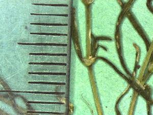 ( - TJD-408)  @11 [ ] CreativeCommons - Attribution Non-Commercial (2013) MTMG McGill Herbarium