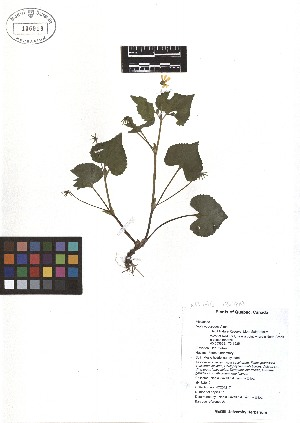 (Viola pubescens - TJD-060)  @11 [ ] CreativeCommons - Attribution Non-Commercial (2013) MTMG McGill Herbarium