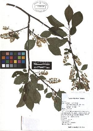 (Prunus virginiana L - TJD-074)  @11 [ ] CreativeCommons - Attribution Non-Commercial (2013) MTMG McGill Herbarium
