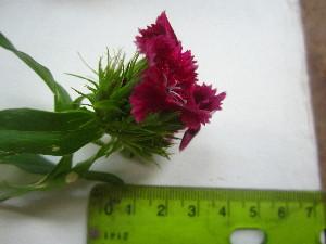 (Dianthus barbatus - TJD-579)  @11 [ ] CreativeCommons - Attribution Non-Commercial (2013) MTMG McGill University Herbarium