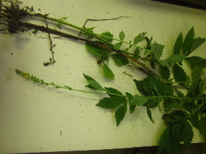(Agrimonia striata - TJD-608)  @11 [ ] CreativeCommons - Attribution Non-Commercial (2013) MTMG McGill University Herbarium