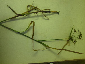 (Scirpus - TJD-613)  @11 [ ] CreativeCommons - Attribution Non-Commercial (2013) MTMG McGill University Herbarium