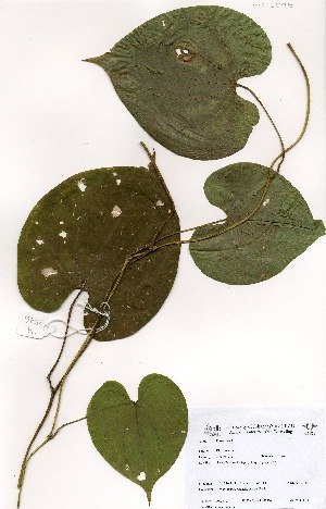 (Dioscorea bulbifera - OM3576)  @11 [ ] Unspecified (default): All Rights Reserved  Unspecified Unspecified