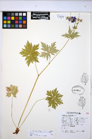 (Geranium erianthum - HERB0368)  @11 [ ] CreativeCommons - Attribution Non-Commercial Share-Alike (2013) Unspecified UBC Herbarium