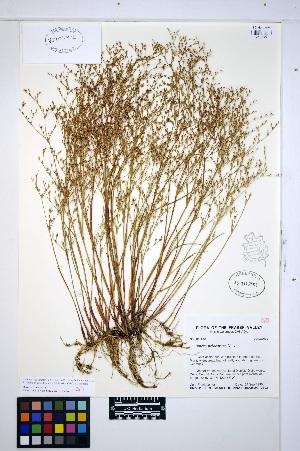 (Juncus pelocarpus - HERB0464)  @11 [ ] CreativeCommons - Attribution Non-Commercial Share-Alike (2013) Unspecified UBC Herbarium