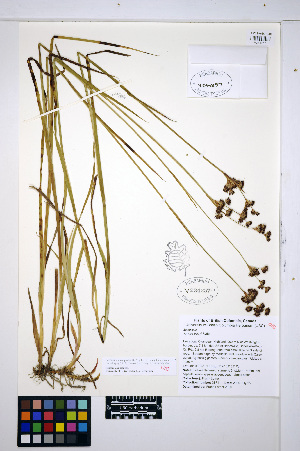(Juncus tracyi - HERB0470)  @11 [ ] CreativeCommons - Attribution Non-Commercial Share-Alike (2013) Unspecified UBC Herbarium