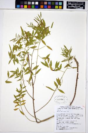 (Glycyrrhiza lepidota - HERB0280)  @11 [ ] CreativeCommons - Attribution Non-Commercial Share-Alike (2013) Unspecified UBC Herbarium