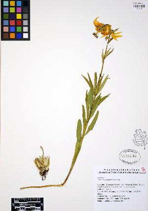(Lilium columbianum - ERM280)  @11 [ ] CreativeCommons - Attribution Non-Commercial Share-Alike (2012) Unspecified UBC Herbarium