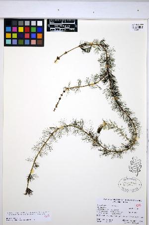 (Myriophyllum sibiricum - HERB0394)  @11 [ ] CreativeCommons - Attribution Non-Commercial Share-Alike (2013) Unspecified UBC Herbarium