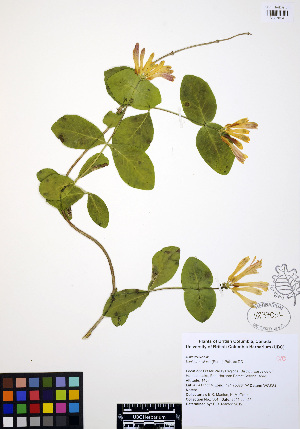 (Lonicera ciliosa - ERM584)  @11 [ ] CreativeCommons - Attribution Non-Commercial Share-Alike (2012) Unspecified UBC Herbarium