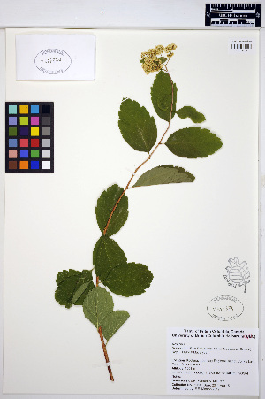(Spiraea betulifolia - ERM1054)  @11 [ ] CreativeCommons - Attribution Non-Commercial Share-Alike (2013) Unspecified UBC Herbarium