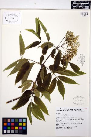 (Sambucus - MF196)  @11 [ ] CreativeCommons - Attribution Non-Commercial Share-Alike (2013) Unspecified UBC Herbarium