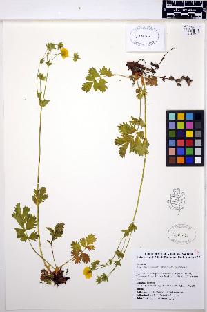 (Potentilla drummondii - MF218)  @11 [ ] CreativeCommons - Attribution Non-Commercial Share-Alike (2013) Unspecified UBC Herbarium