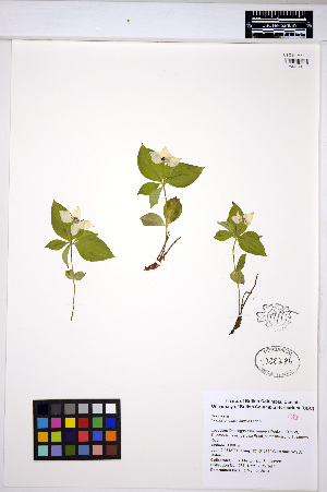(Cornus unalaschkensis - MF271)  @11 [ ] CreativeCommons - Attribution Non-Commercial Share-Alike (2013) Unspecified UBC Herbarium