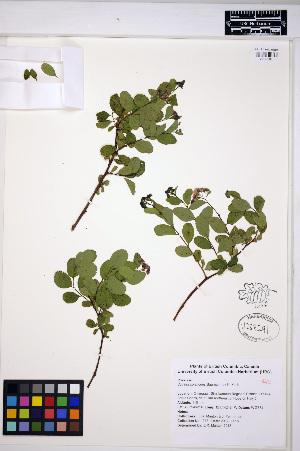 (Spiraea splendens - MF278)  @11 [ ] CreativeCommons - Attribution Non-Commercial Share-Alike (2013) Unspecified UBC Herbarium