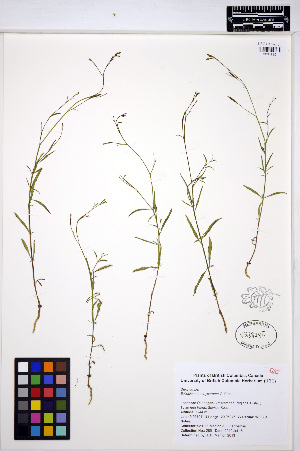 (Epilobium brachycarpum - MF285)  @11 [ ] CreativeCommons - Attribution Non-Commercial Share-Alike (2013) Unspecified UBC Herbarium