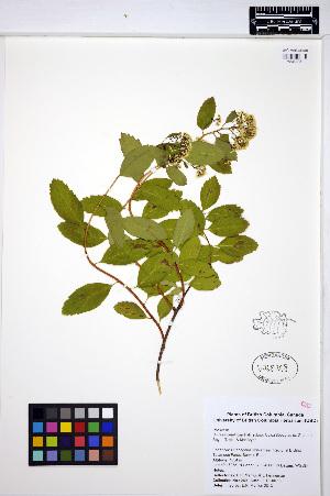 (Spiraea betulifolia - MF289)  @11 [ ] CreativeCommons - Attribution Non-Commercial Share-Alike (2013) Unspecified UBC Herbarium