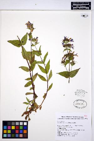 (Penstemon serrulatus - MF294)  @11 [ ] CreativeCommons - Attribution Non-Commercial Share-Alike (2013) Unspecified UBC Herbarium