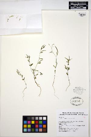 (Epilobium minutum - MF297)  @11 [ ] CreativeCommons - Attribution Non-Commercial Share-Alike (2013) Unspecified UBC Herbarium