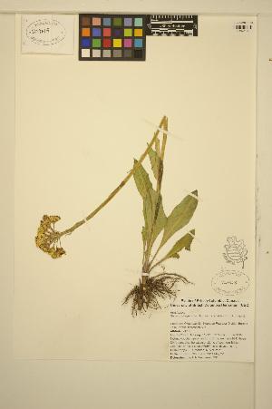 (Senecio integerrimus - ERM395)  @11 [ ] CreativeCommons - Attribution Non-Commercial Share-Alike (2013) Unspecified UBC Herbarium